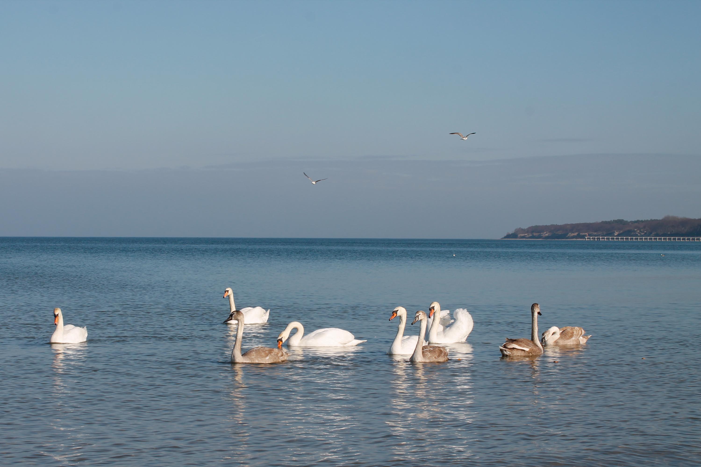 лебеди на Балтийском море Калининградская область