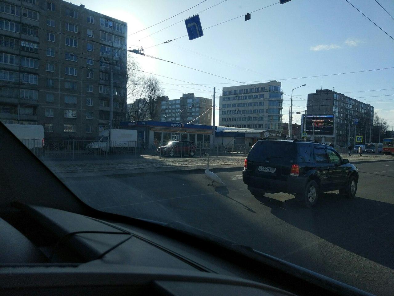 ВКалининграде гуляющий лебедь устроил пробку наэстакаде