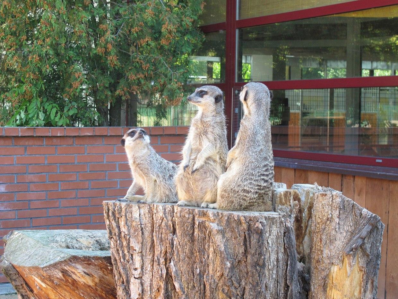 Зоопарк вКалининграде пополнят 4 суриката