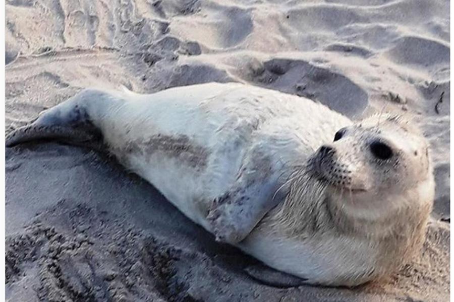 тюлень Балтийск